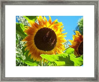 Sunflower 117 Framed Print by Ken Day