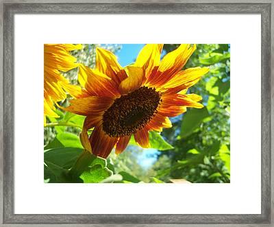 Sunflower  119 Framed Print by Ken Day