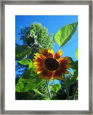 Sunflower 120 Framed Print by Ken Day