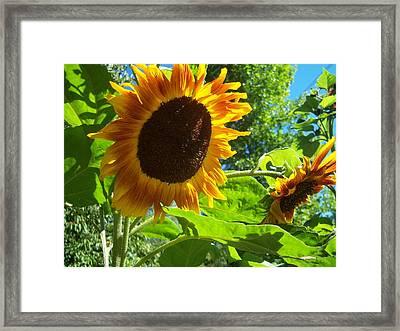Sunflower 122 Framed Print by Ken Day