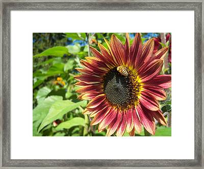 Sunflower 129 Framed Print by Ken Day