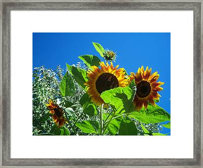Sunflower 131 Framed Print by Ken Day