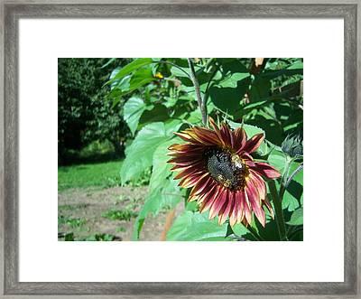 Sunflower 134 Framed Print by Ken Day