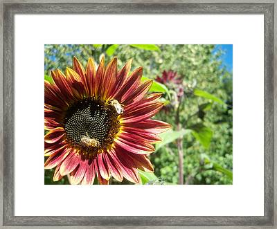 Sunflower 135 Framed Print by Ken Day