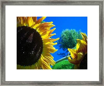 Sunflower 138 Framed Print by Ken Day