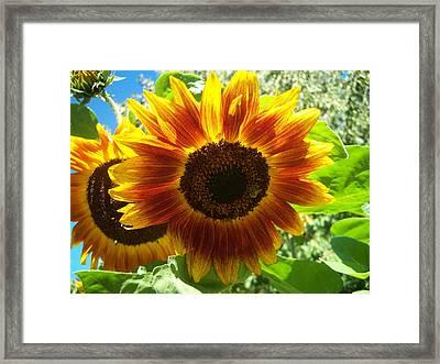 Sunflower 140 Framed Print by Ken Day