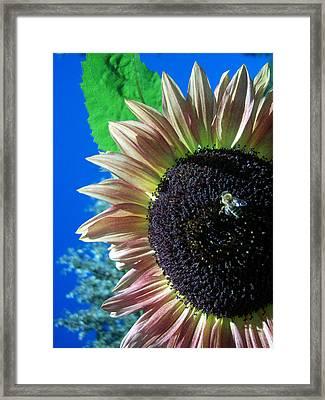 Sunflower 142 Framed Print by Ken Day