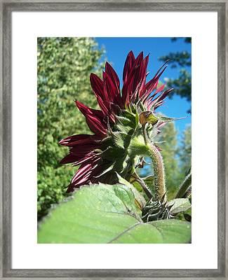 Sunflower 144 Framed Print by Ken Day