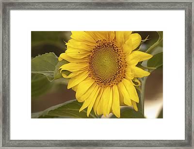 Sunflower-2 Framed Print by Alexander Rozinov