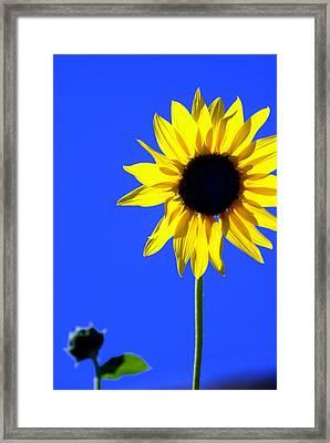 Sunflower 2 Framed Print by Marty Koch