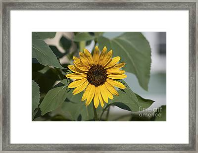 Framed Print featuring the photograph Sunflower 20120718_06a by Tina Hopkins