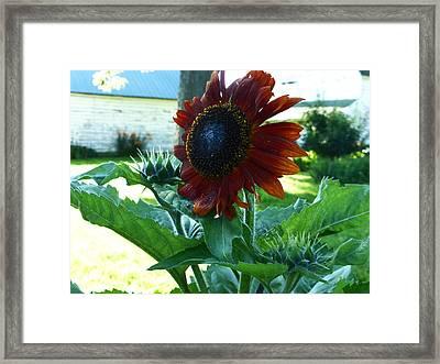 Sunflower 2015 0 Framed Print by Tina M Wenger