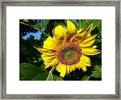 Sunflower 2015 13 Framed Print by Tina M Wenger