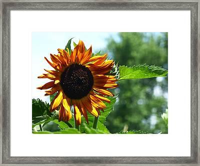 Sunflower 2015 6 Framed Print by Tina M Wenger