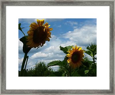 Sunflower 2015 7 Framed Print by Tina M Wenger