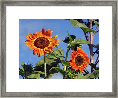 Sunflower 2016 1 Of 5 Framed Print by Tina M Wenger