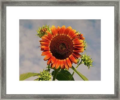 Sunflower 2016 2 Of 5 Framed Print by Tina M Wenger