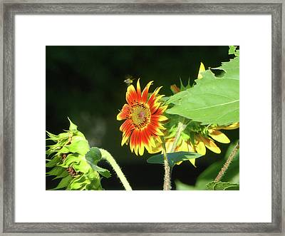 Sunflower 2016 4 Of 5 Framed Print by Tina M Wenger