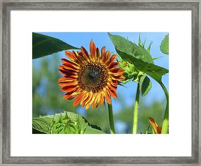 Sunflower 2016 5 Of 5 Framed Print by Tina M Wenger