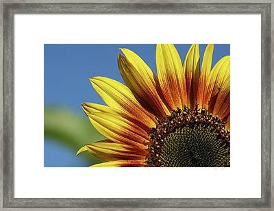 Sunflower 38 Framed Print