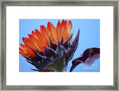 Sunflower Absorbing The Blue Sky Framed Print by Mary Deal