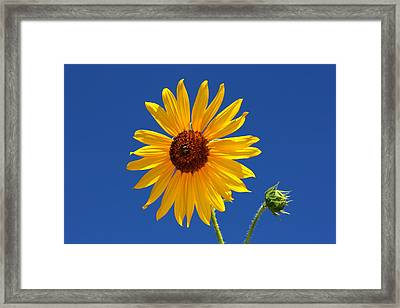 Sunflower Against Blue Sky Framed Print by Tracie Kaska