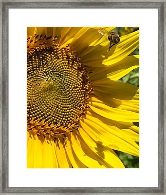 Sunflower And Bee Framed Print by Darice Machel McGuire
