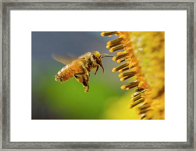 Sunflower And Bee Framed Print by Mircea Costina Photography