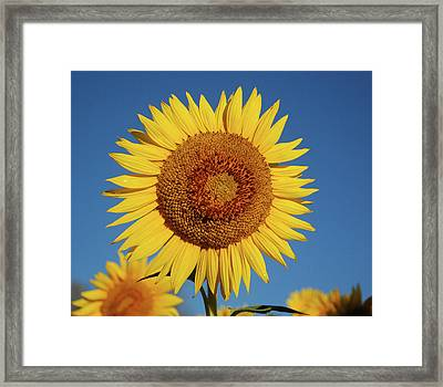 Sunflower And Blue Sky Framed Print by Nancy Landry