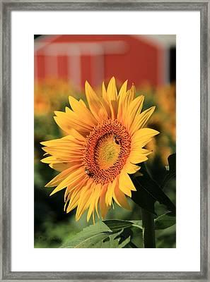 Sunflower And Red Barn Framed Print