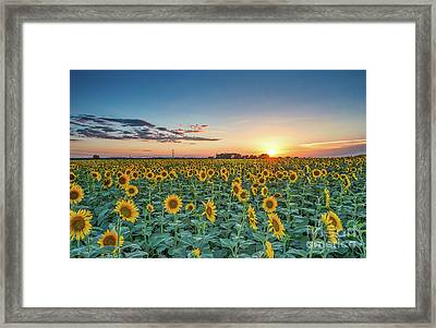 Texas Sunflowers At Sunset Framed Print by Tod and Cynthia Grubbs