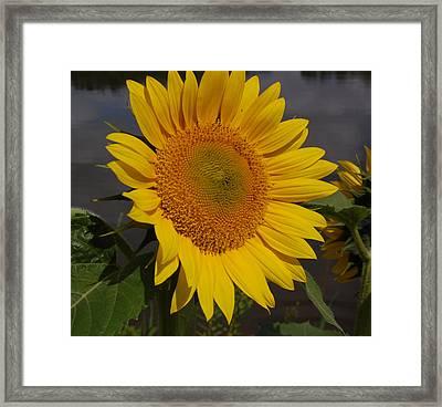 Sunflower Framed Print by Audrey Venute