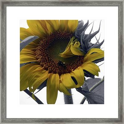 Sunflower Bee Framed Print
