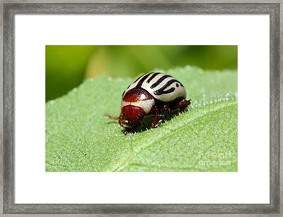 Sunflower Beetle Framed Print by Teresa Zieba