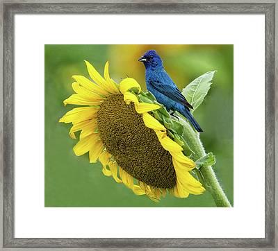 Sunflower Blue Framed Print