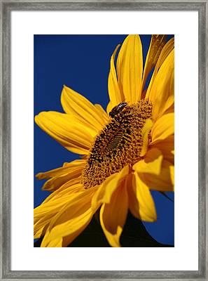 Sunflower Breakfast 2 Framed Print by Rusalka Koroleva