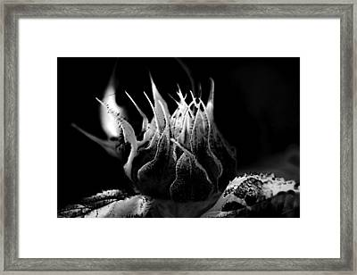 Sunflower Bud Abstract Framed Print by Donna Lee