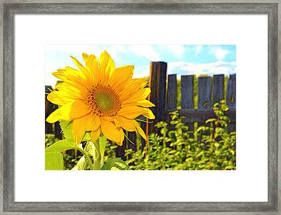 Sunflower By The Fence Framed Print by L Brown