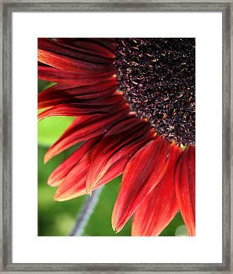 Sunflower Framed Print by Carol Hicks