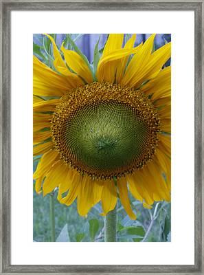 Sunflower Framed Print by Catherine Alfidi