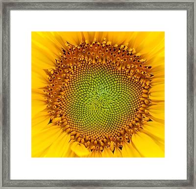 Sunflower Centered Framed Print