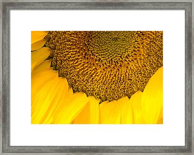 Sunflower Framed Print by Charlie Hunt
