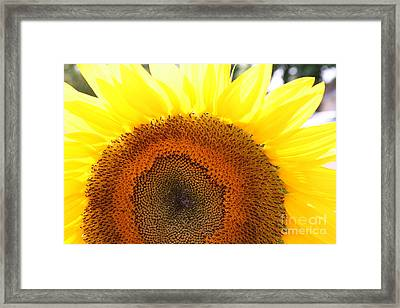 Sunflower Framed Print by Chuck Kuhn