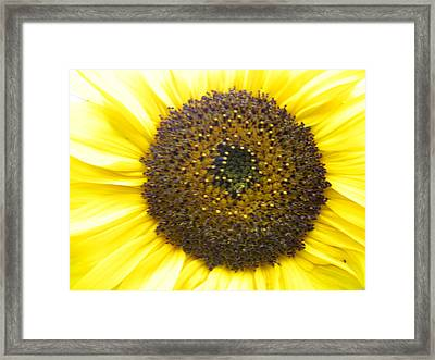 Sunflower Close Up Framed Print by Sonya Chalmers
