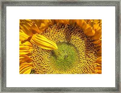 Sunflower Closeup Framed Print