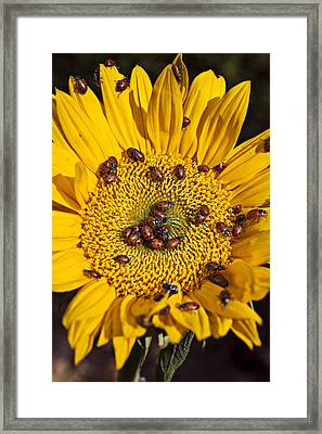 Sunflower Covered In Ladybugs Framed Print by Garry Gay