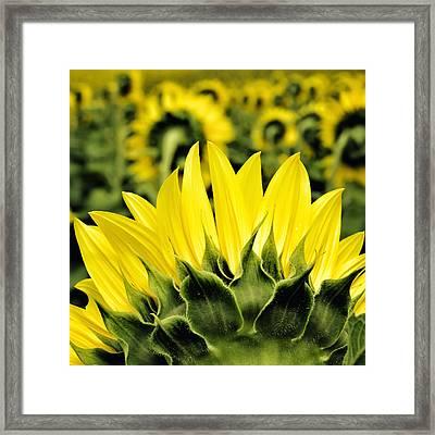 Sunflower Days - Square Framed Print