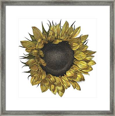 Sunflower Drawing In Color Framed Print by William Beauchamp