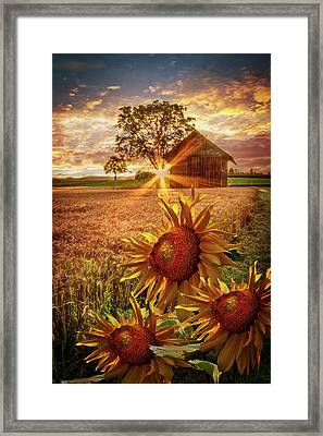 Sunflower Evening Framed Print