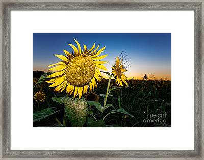 Sunflower Evening Framed Print by Robert Frederick